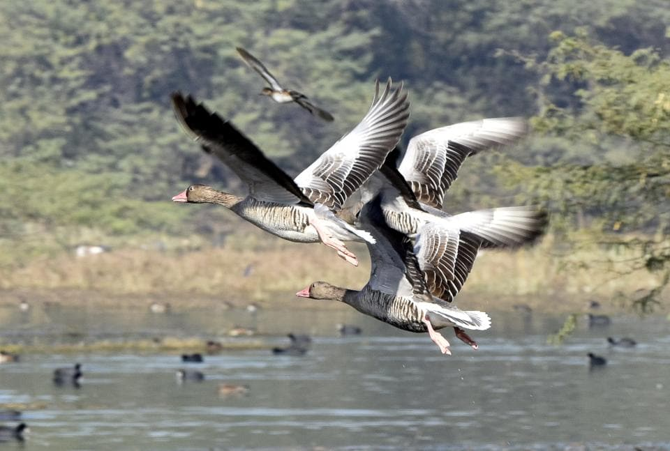 Greylag geese, which are migratory in nature, in Gurgaon's Sultanpur National Park.