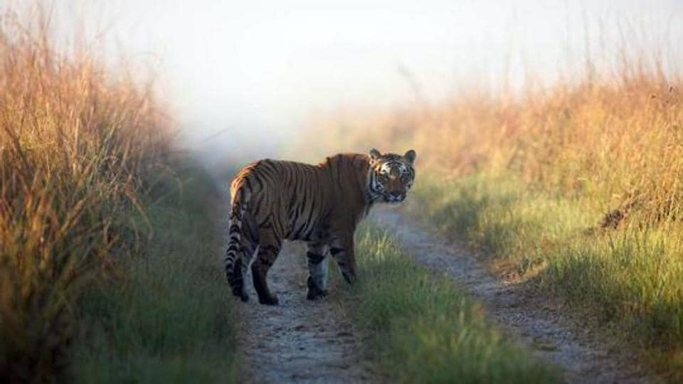 This undated photo released by Corbett Tiger Reserve, shows a tiger in Corbett National Park.