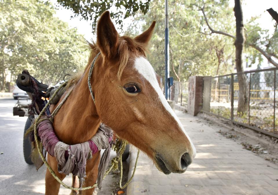 Delhi polo spring season,polo,horses infected