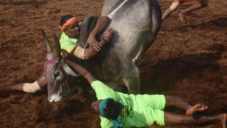 Participants try to control a bull during the annual Jallikattu bulltaming festival in the village of Palamedu on the outskirts of Madurai on January 15.