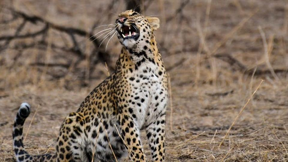 The Rajasthan forest department is installing camera traps in Jhalana and Amagarh reserves  to assess the leopard population.