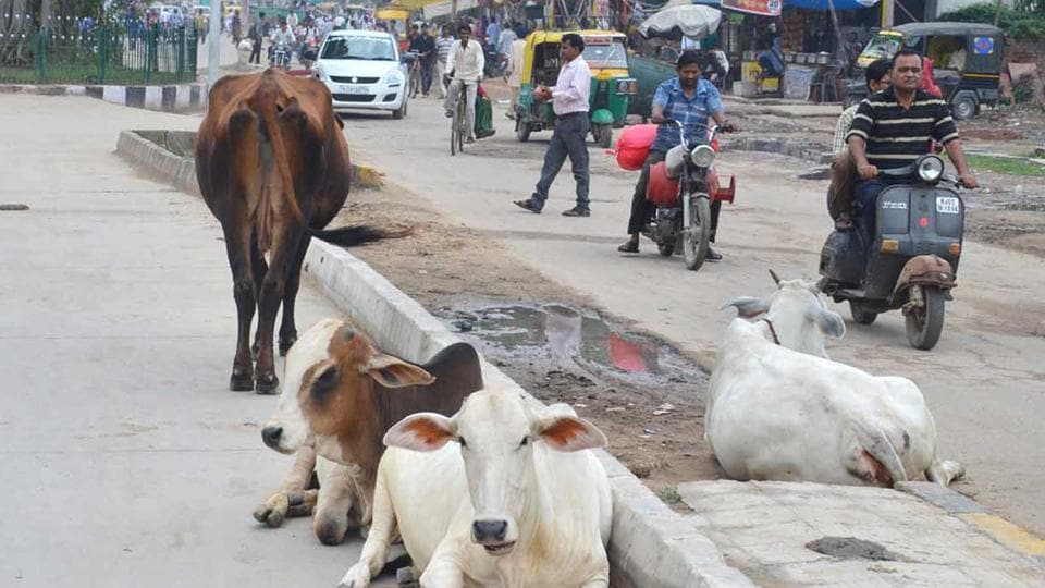 Rajasthan news,menace of stray cattle,Congress protest