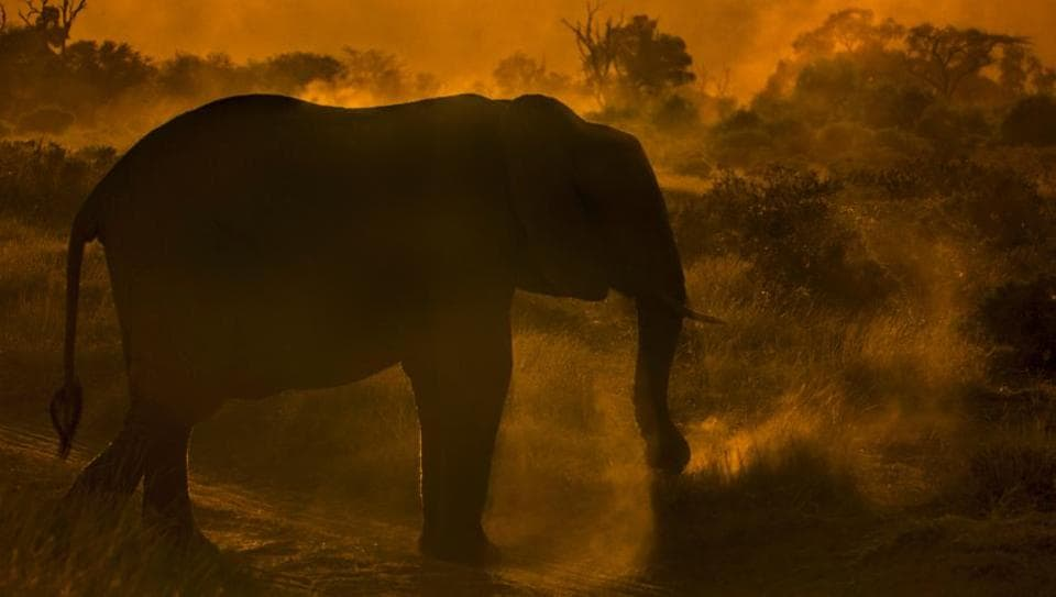 "An elephant in a dust storm at sunset in Samburu National Reserve in Kenya. Aditya Singh, or ""Dicky,"" moved to Ranthambore two decades ago with his wife and has been living with tigers in his backyard ever since. Singh's latest exhibition brings to Delhi fine moments from the forests of India and East Africa. (Aditya Singh)"