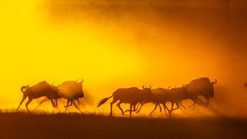 Wildebeest run during sunrise at the annual wildebeest migration in Maasai Mara National Reserve, Kenya. A wide array of nature pictures spaning from animals to landscapes and a selection of infrared images can be found at this exhibition. (Aditya Singh)