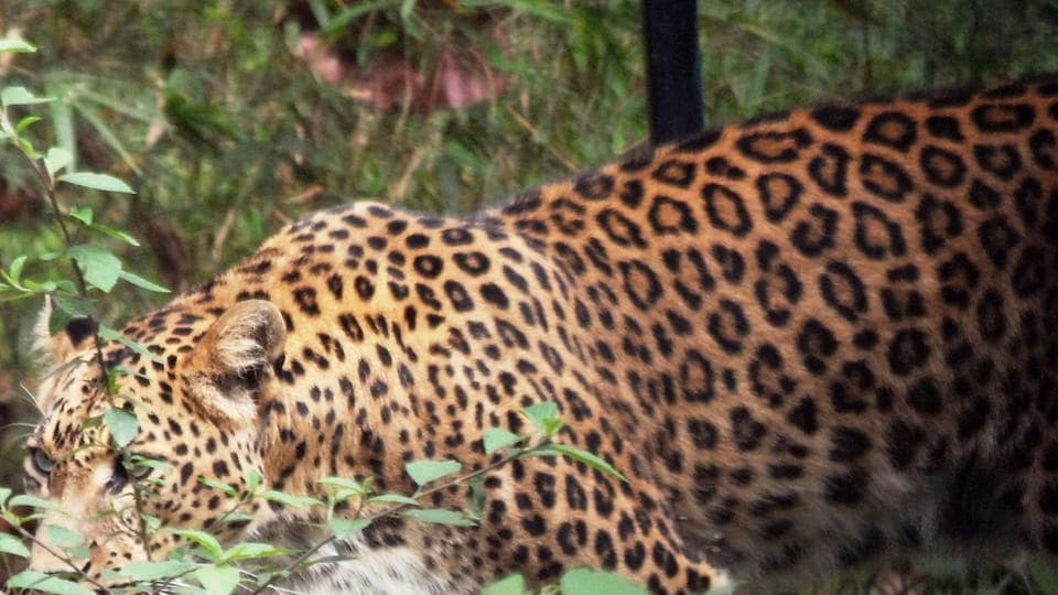Nearly 150 leopards have been declared as man-eaters  since the formation of  Uttarakhand in 2000.
