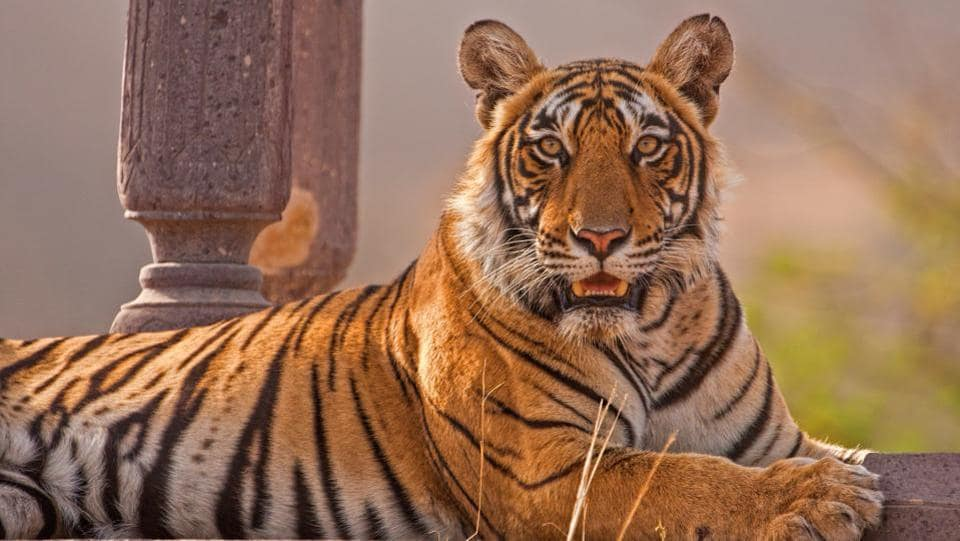 A tiger sit in an ancient Shiva temple in Ranthambore National Park, India. The exhibition is on view at the Oddbird Theatre in New Delhi till February 08. (Aditya Singh)