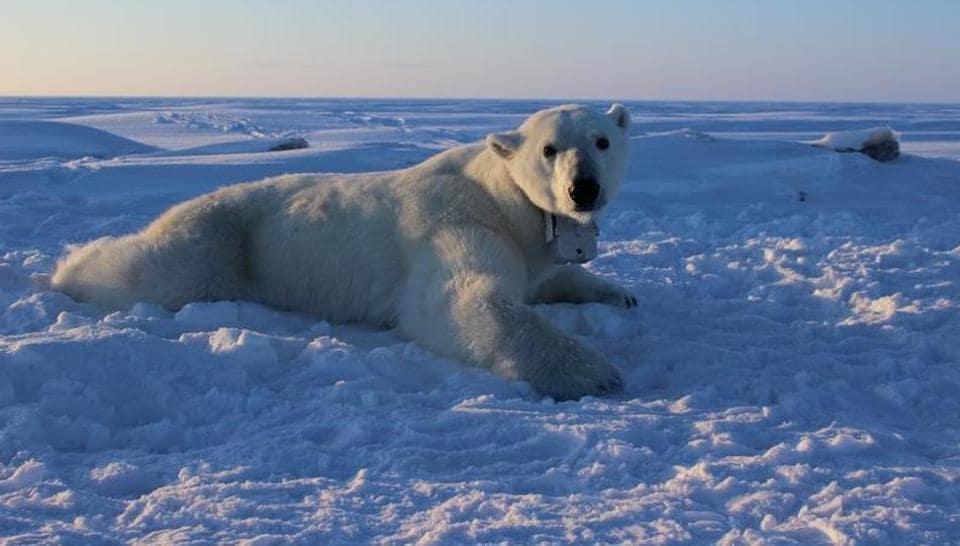 Arctic,Arctic polar bears,global warming