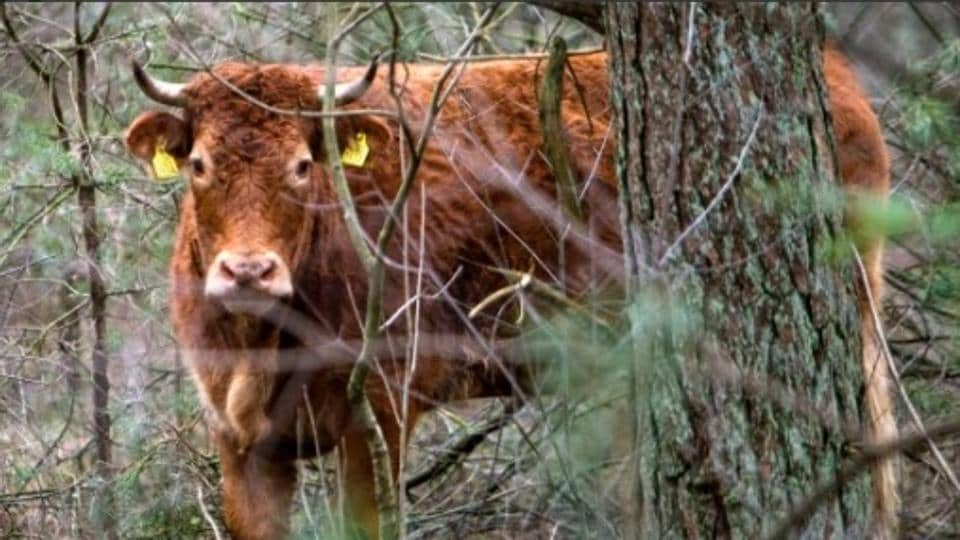 The three-and-a-half-year old cow will get to live out her days in pasture.