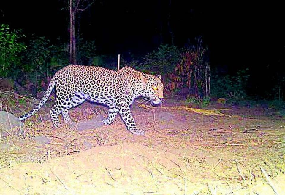 Recently, a 30-year-old woman was severely injured following a leopard attack in Junnar and had died five days later.