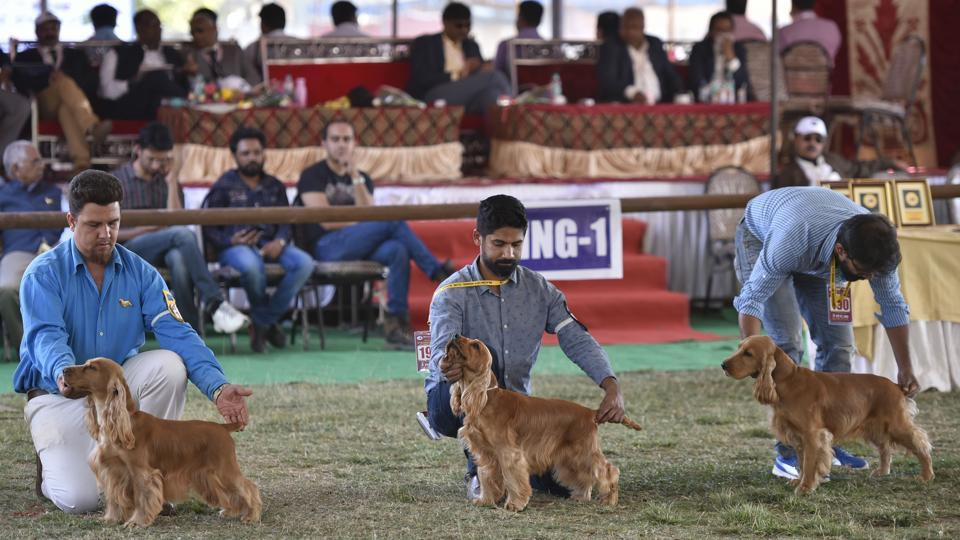 Owners line up their English Cocker Spaniels -- a breed of gun dog -- at the judging area. The first 31 dog shows were held in Lahore between 1896 and 1907 under the Northern India Kennel Association. (Arijit Sen / HT Photo)