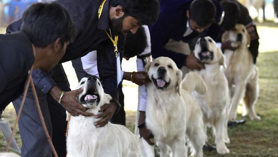Handlers display their Golden Retrievers, dogs with a particular aptitude for retrieving games, at the judging arena. This two day show was held at Veterinary College Campus in Hebbal, Bengaluru. (Arijit Sen / HT Photo)