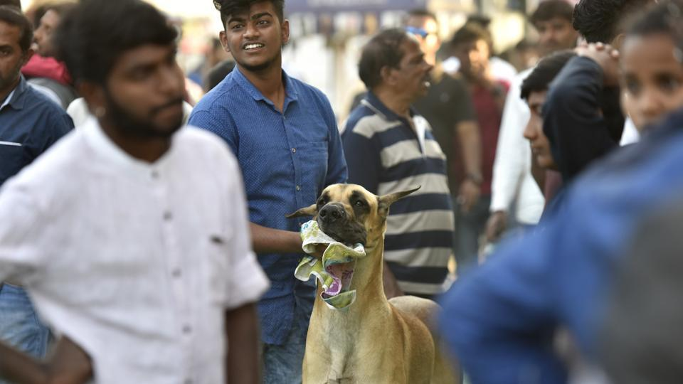 A Great Dane waits for its turn during the show. Visitors to the show and their canine companions were given obedience trials & tips for handling their pets by experts on February 03, 2018. (Arijit Sen / HT Photo)
