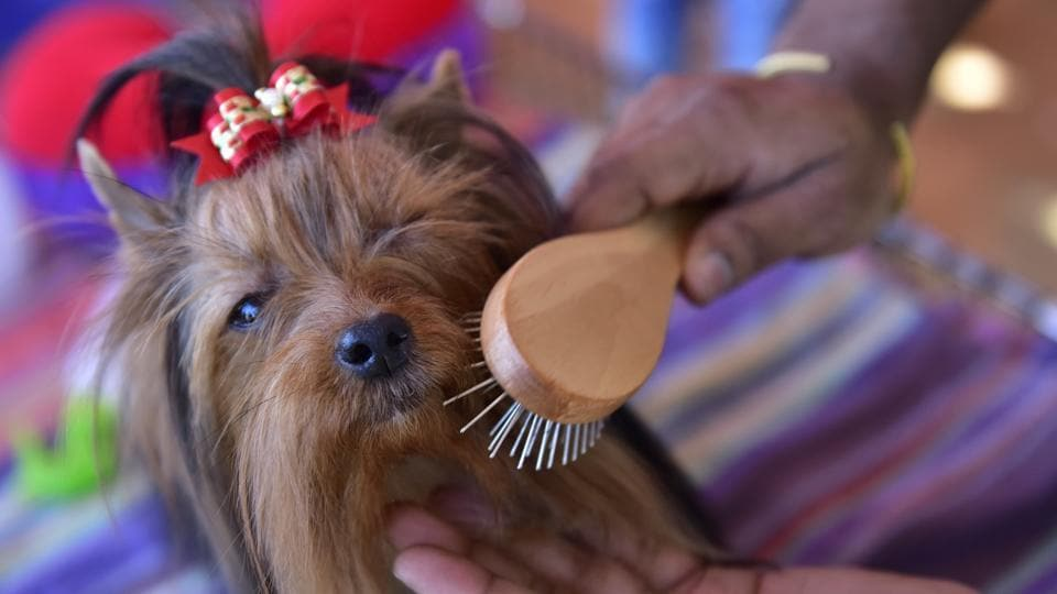 A Yorkshire Terrier caught during a grooming session. This smaller variant of the terrier was developed during the 19th century in Yorkshire to catch rats in the region's clothing mills. (Arijit Sen / HT Photo)
