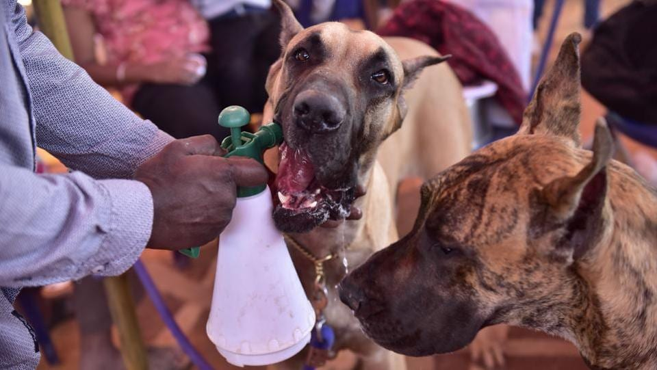 A handler feeds his Great Dane while the show runs. The show also had a special cash prize of Rs. 5000 per show for the  'best of breed winner', of a breed with more than 30 entries in the catalogue. (Arijit Sen / HT Photo)