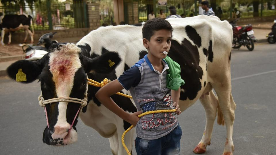 A boy poses with his cow during Makar Sankranti to celebrate the harvest season at Kanakanpalya, Bengaluru, January 15, 2018