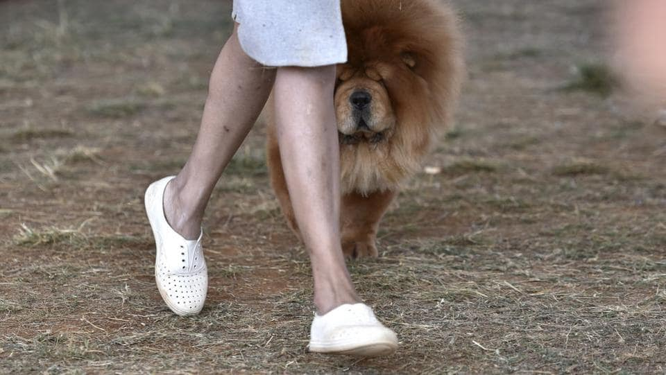 Chow Chow walks along with its owner to take part in the competition. (Arijit Sen / HT Photo)
