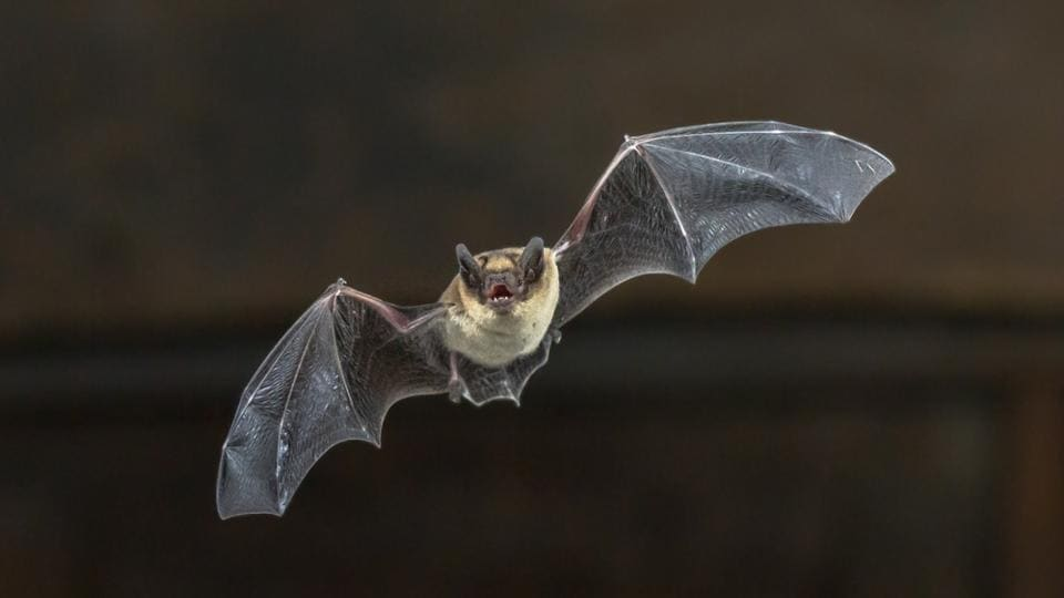 Only 19 mammal species are longer-lived than humans relative to body size. Eighteen of them are bats, some living more than four decades.