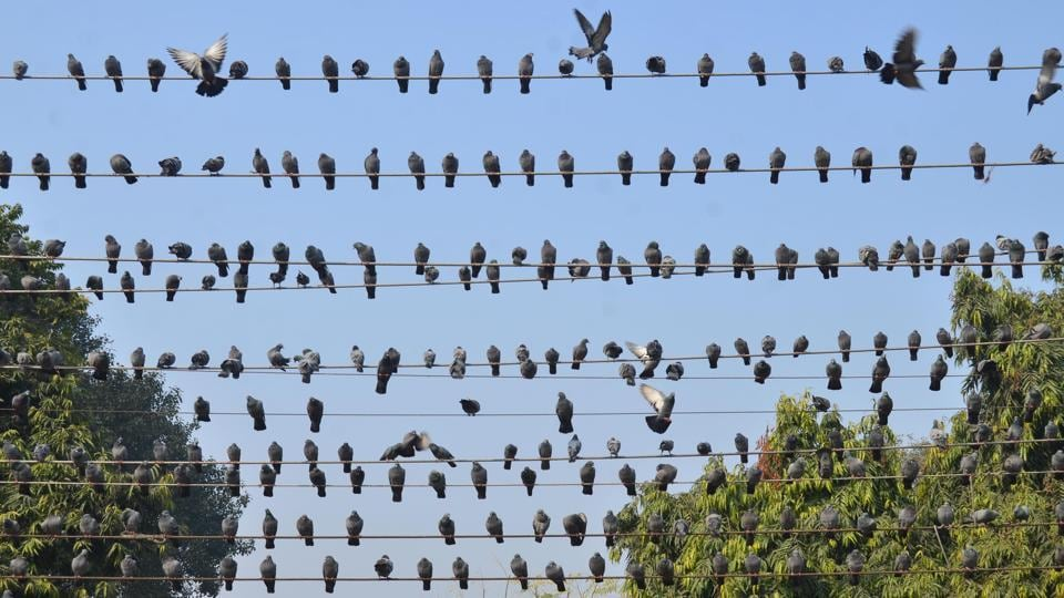 A flock of a pigeons sitting on electricity wires in Amritsar.