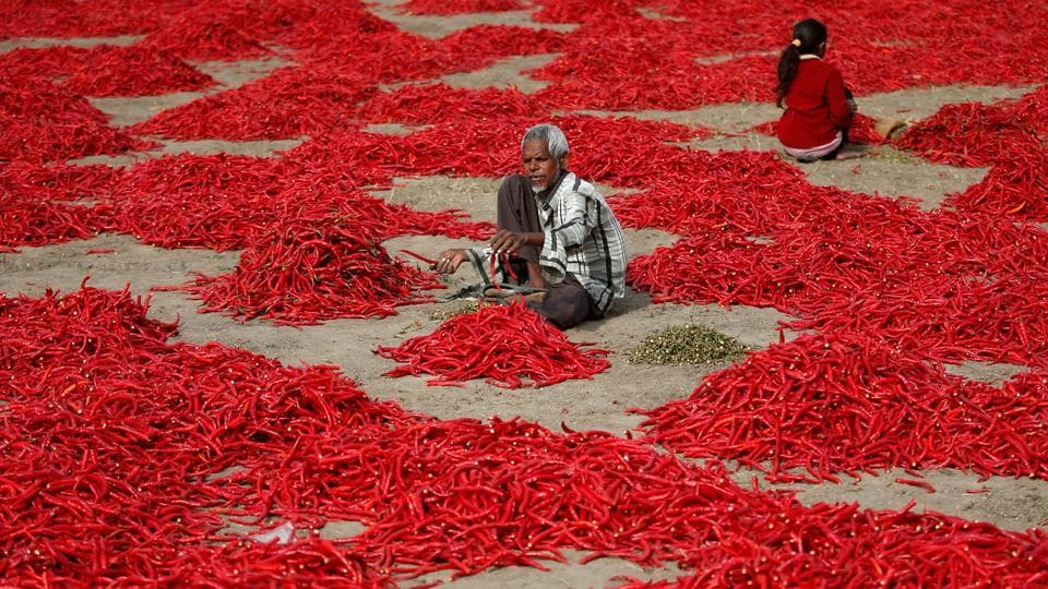 A man removes stalks from red chili peppers at a farm in Shertha village on the outskirts of Ahmedabad on February 5, 2018. (Amit Dave / REUTERS)