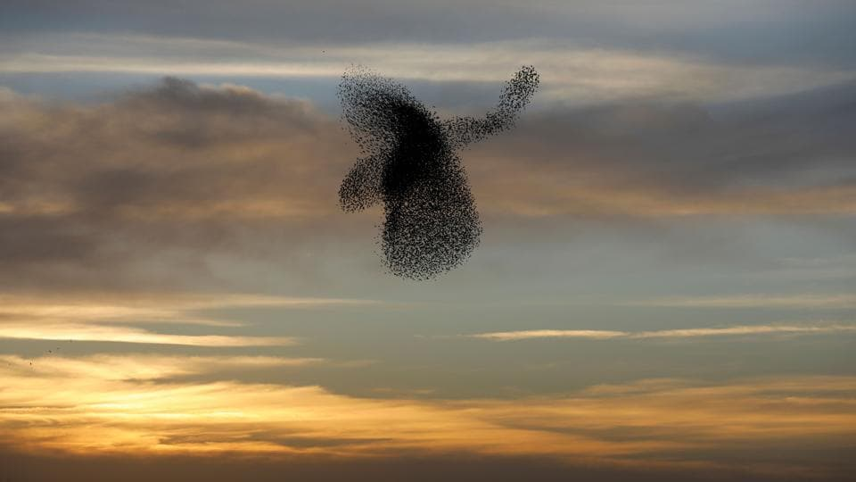 A murmuration of starlings performs a dance before landing to sleep near the southern Israeli city of Rahat, in the Negev desert on February 4, 2018. (Menahem Kahana / AFP)