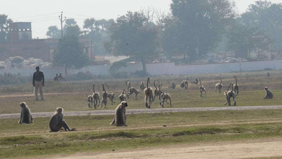 Monkeys,Monkey menace in Bihar,Bihar forest department