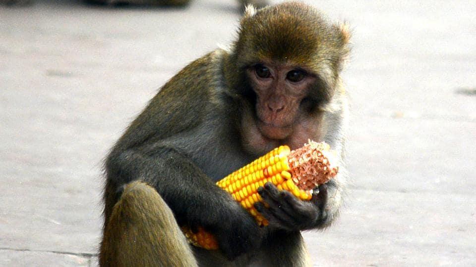 Monkey menace,Shimla,Monkeys in Himachal