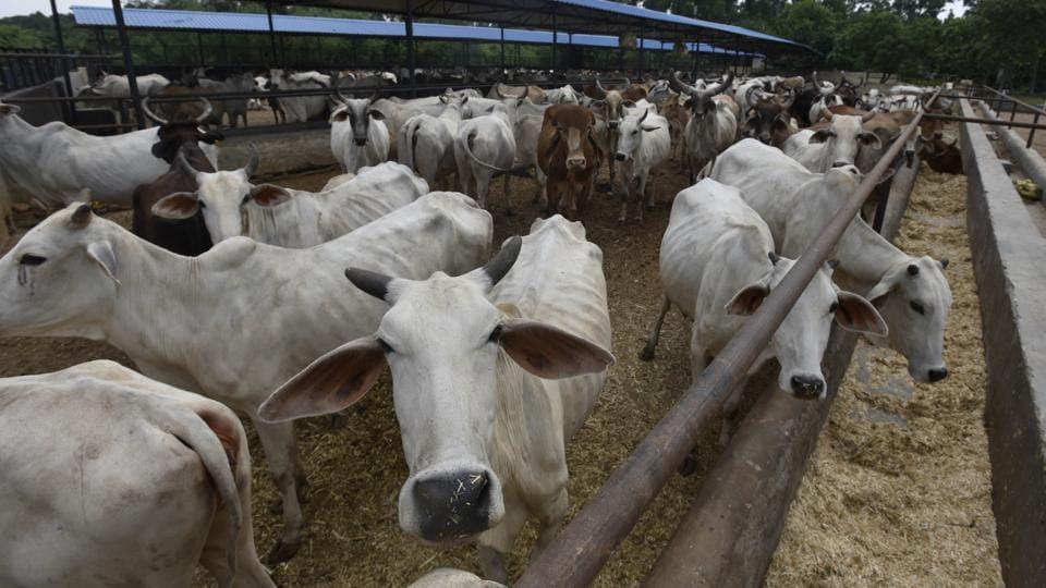 Haryana gaushalas,milch cows,Haryana Gau Seva Aayog