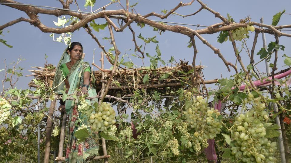 Mandodari Shelke, who lost her grape orchard due to the sudden downpour of the hailstones.