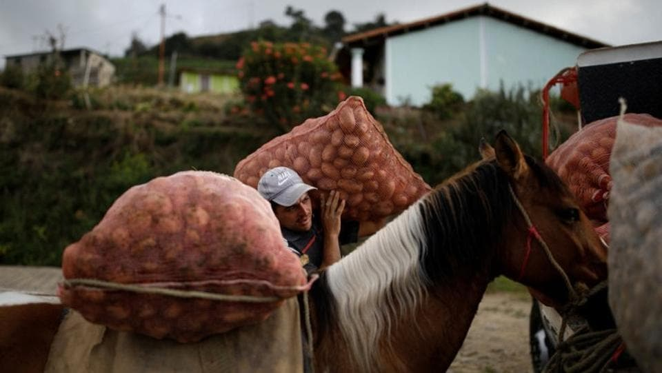 Adrian Pernia moves sacks of potatoes from his horse Pinto to a truck during the harvest at a farm in La Grita. The dystopian attacks have complicated the life of truckers who already face harassment from bribe-seeking soldiers, spiraling prices for parts and hours-long lines for fuel. Barred by law from carrying guns, they form convoys to protect themselves, text each other about trouble spots - and keep moving as fast as possible. (Carlos Garcia Rawlins / REUTERS)