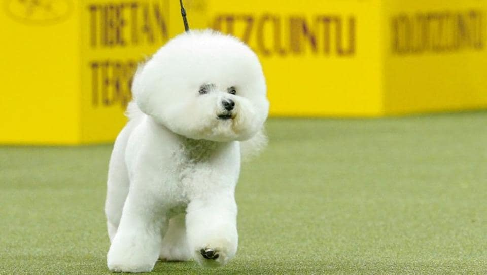 Flynn, a bichon frise walks after winning the nonsporting group during judging at the 142nd Westminster Kennel Club Dog Show in New York.