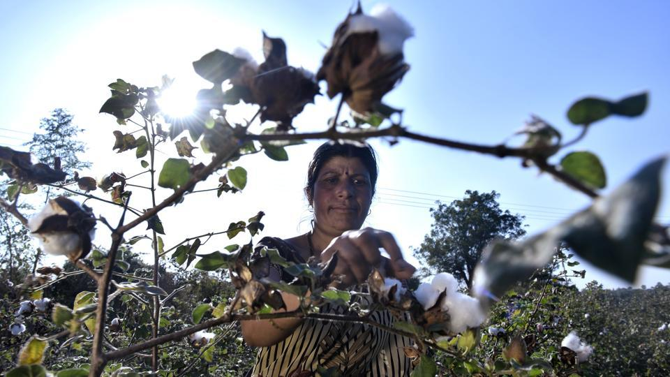 Usha Pandey, 39, a farmer from Maharashtra's Amravati district, inspects her damaged cotton plants. In December 2017, the state's cotton crop was devastated by a pink bollworm attack, the worst since the state adopted BT (Bollgard cotton) or genetically modified (GM) seed technology in 2002. The pink bollworm, native to Asia has now been proven resistant to the BT gene in India. (Anshuman Poyrekar / HT Photo)