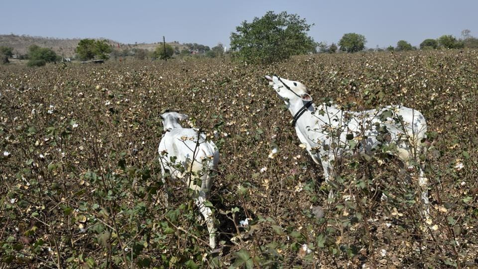 "Cattle graze in an infected cotton field in Yavatmal. ""This pest attack is unprecedented and we are looking at a year of agrarian misery for the cotton farmers. This will lead to a spurt in farmer suicides and I will hold the government responsible unless it delivers on the promised compensation,'' said Kishore Tiwari, chairman of the Vasantrao Naik Shetkari Swavlamban Mission. (Anshuman Poyrekar / HT Photo)"