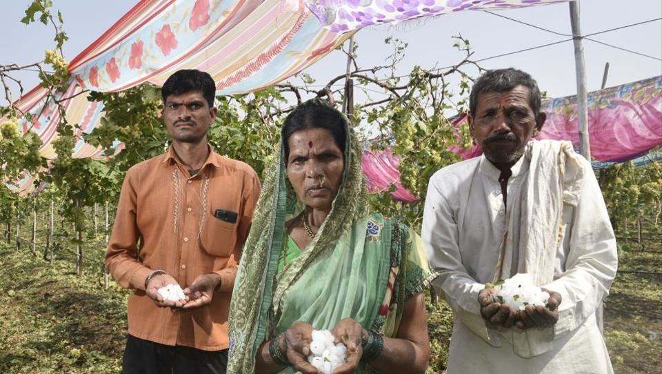 The Shelke family from Jalna district, Marathwada, lost 200 quintals of grapes on their one-and-a-half acre field.