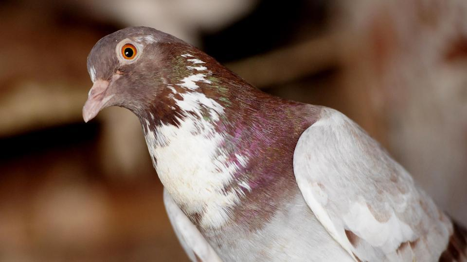 According to Gaurav Chauhan, who owns 50 pigeons, there's been a renewed interest in pigeon keeping and gaming in the last few years.  (Keshav Singh/HT)