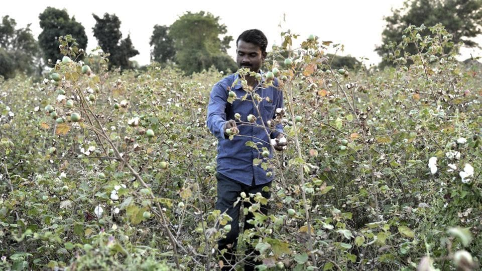 Yogesh Bayaskar, a cotton farmer from Raghunathpur village of Amravati district, had planted the crop on his 2.5-acre farm, but got less than half the yield owing to the pink bollworm attack.  (Anshuman Poyrekar / HT Photo)