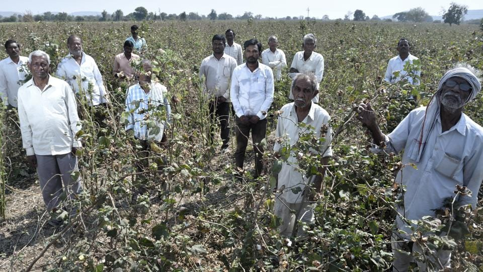 Farmers from Wadgaon village in Yavatmal district say that the worm outbreak has not spared a single cotton farm in their village. They have sought swifter loan-waiver implementation and compensation for cotton losses. (Anshuman Poyrekar / HT Photo)