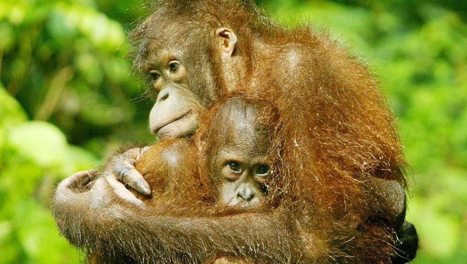 Orangutans,Borneo orangutan,Endangered species