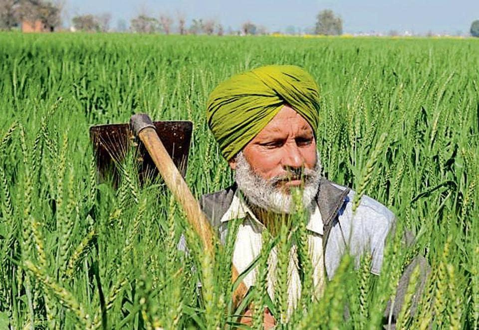 Wheat,harvest,Punjab farmers