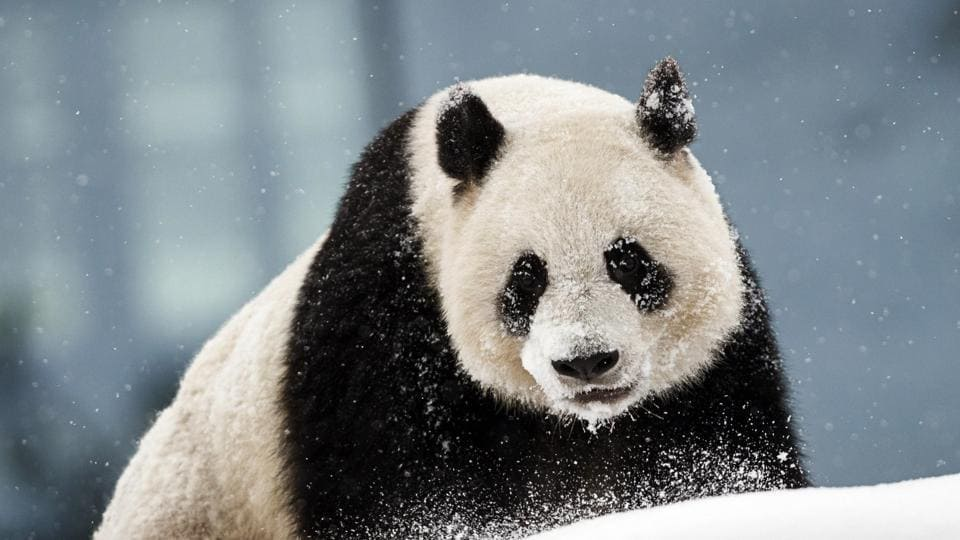 Pandas,Chinese pandas,Finland