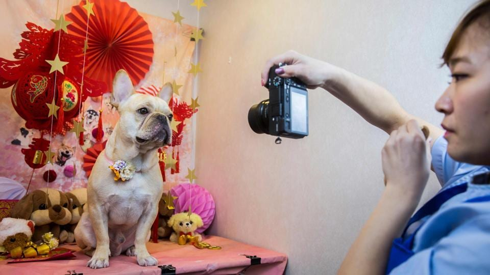 A French bulldog named Bao gets a photo clicked after a spa treatment session at a pet groomer's in Hong Kong. As the city welcomes the Year of the Dog, pet owners are pushing out the boat more than ever to ensure their pooches are glossed and spritzed.  (Isaac Lawrence / AFP)