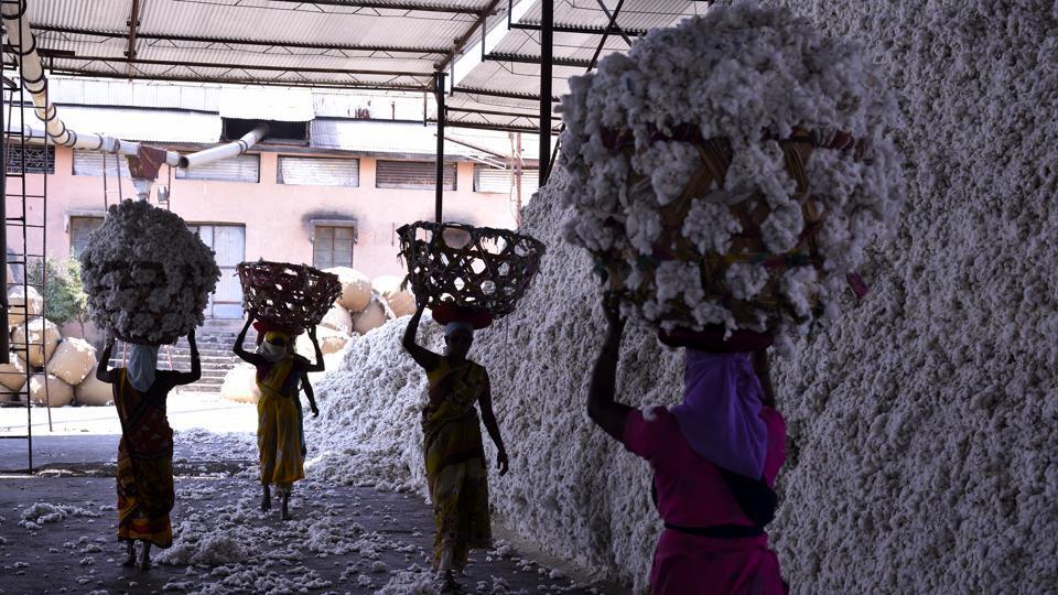 Maharashtra cotton crisis,pink bollworm attack,pest attack