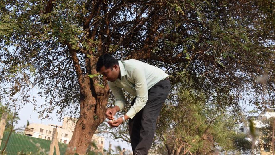 Baner Ber,Bora man,tree from
