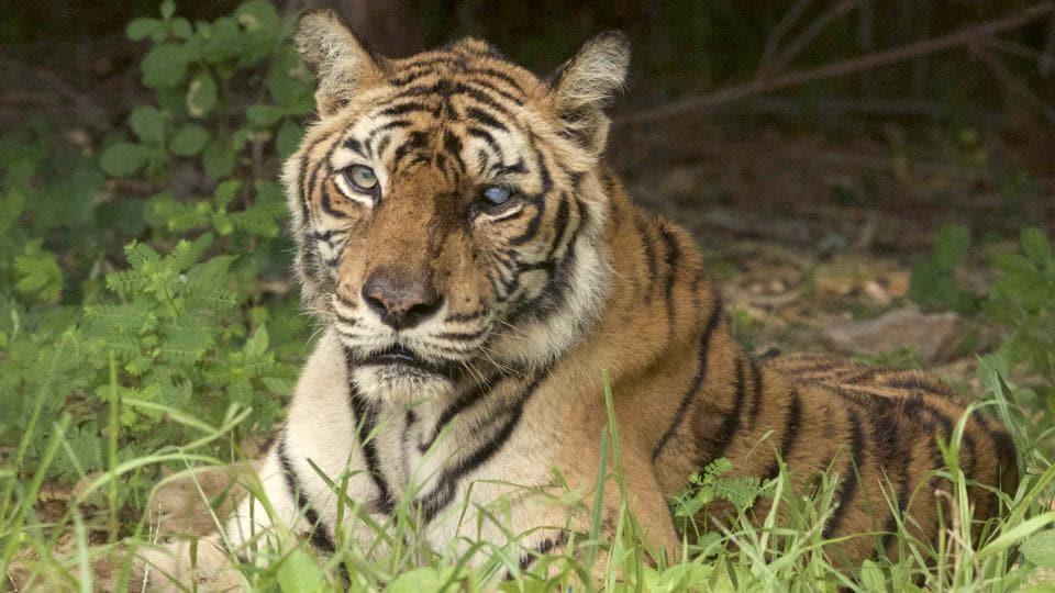 Tiger,Big cat,Rajasthan news