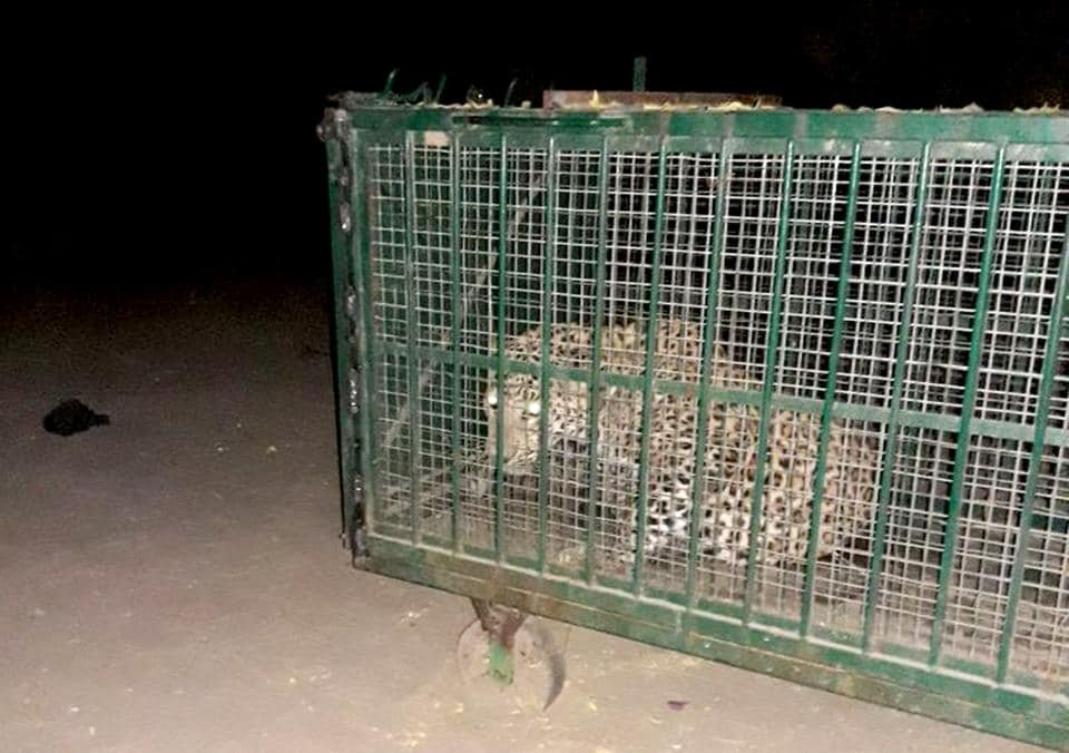 Rajasthan news,trapped a leopard,Forest department officials