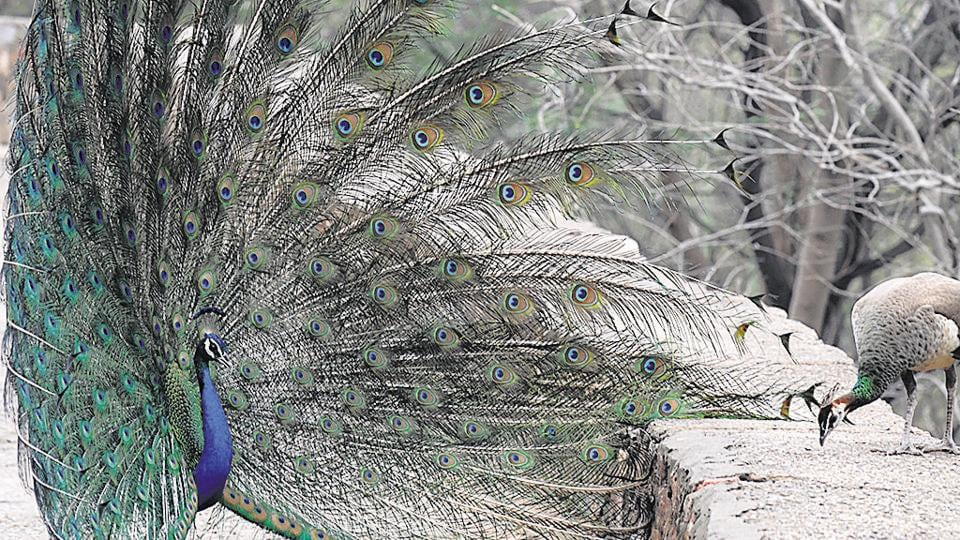 Peacock,ringed birds,wing tag