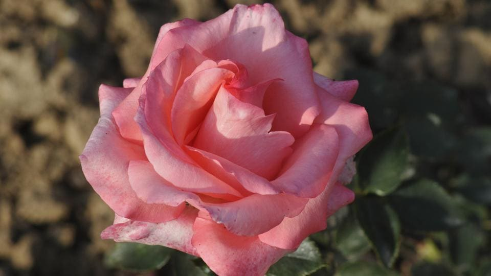 Queen Elizabeth: A cross-hybrid between floribunda and hybrid tea plant, this rose is pink in colour, royal in appearance and, undoubtedly, a rose for a queen. (Karun Sharma/HT)