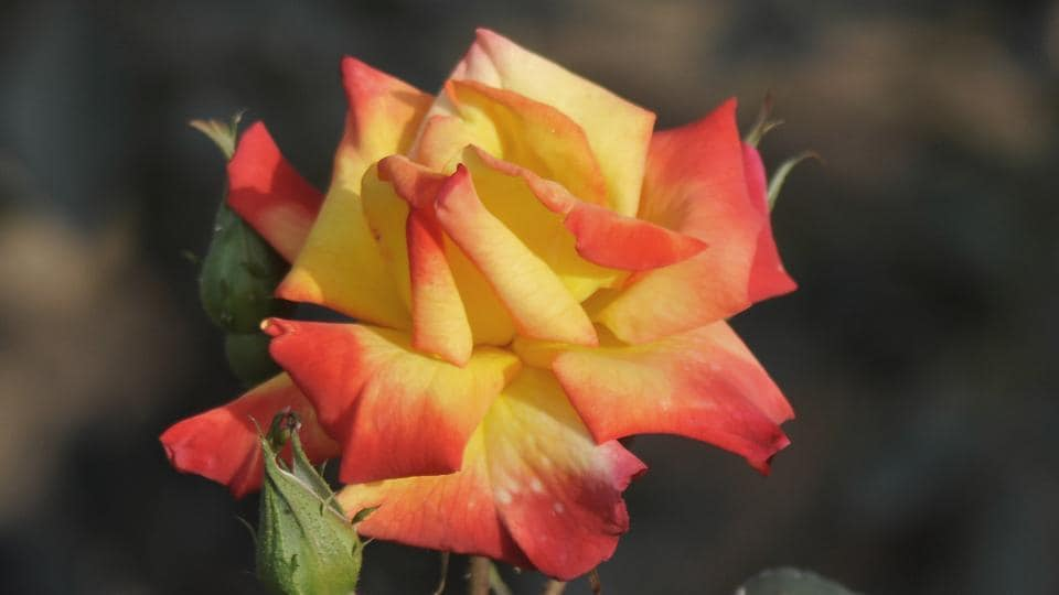 Charleston: Dual shade of red and yellow, this rose is a part of the floribunda category.  (Karun Sharma/HT)