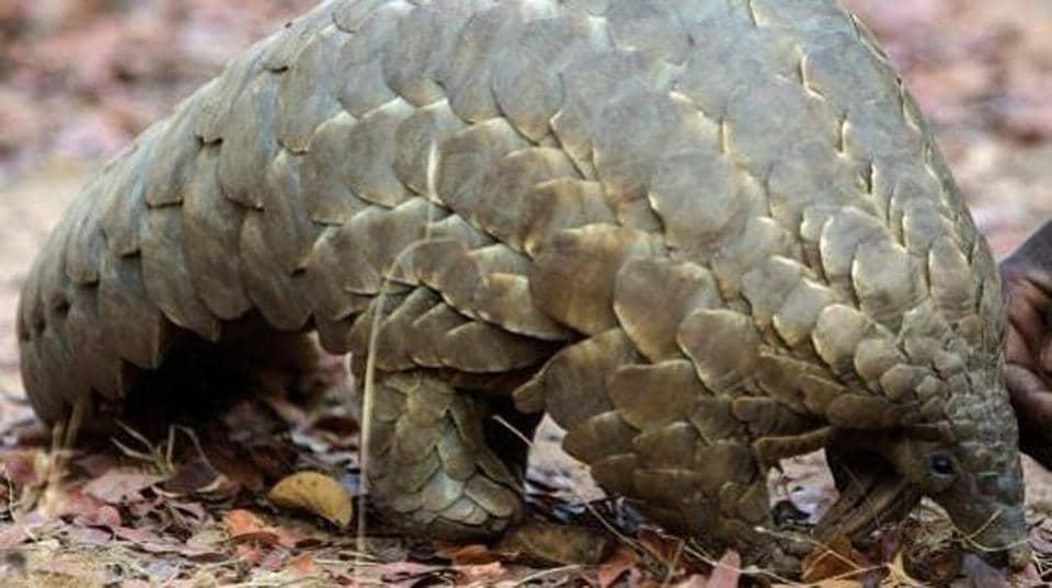 Pangolin,Illegal wildlife trading,Thane