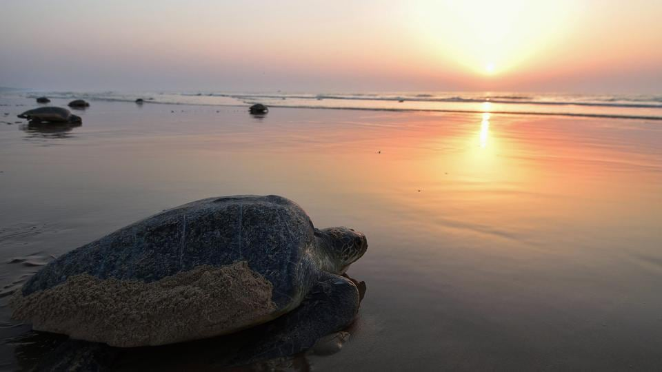Olive Ridley sea turtles return to the sea after laying eggs on Rushikulya Beach, Odisha on February 23. Thousands of Olive Ridley sea turtles started to come ashore in the last few days from the Bay of Bengal to lay their eggs on the beach, which is one of the three mass nesting sites in the coastal state of Odisha. (Asit Kumar / AFP)