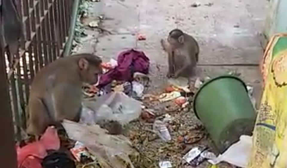 The population of monkeys is increasing rapidly and such incidents of monkeys visiting residential colonies in search of food are expected to rise.